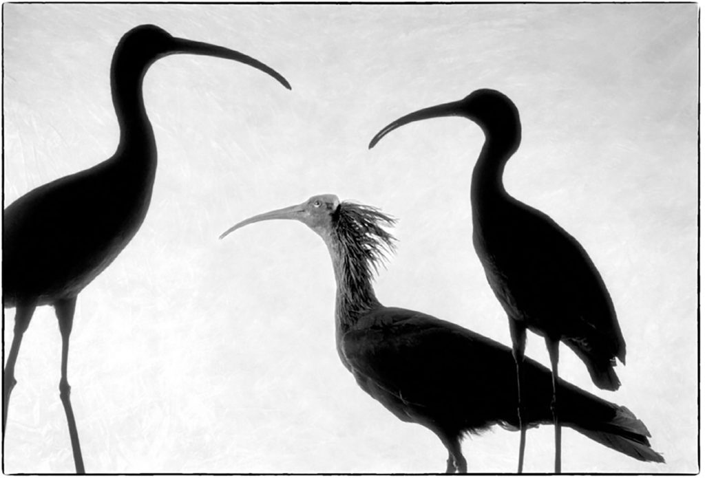 ibis falcinelle + ibis chauve