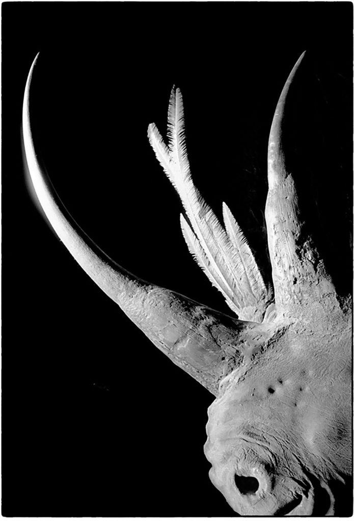 rhinocéros blanc + calure resplendissant